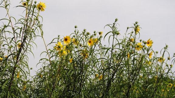 Mehrere gelbe Blüten der Weidenblättrigen Sonnenblume