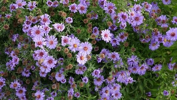 Eine Pflanze mit vielen kleinen Blüten in Lila.