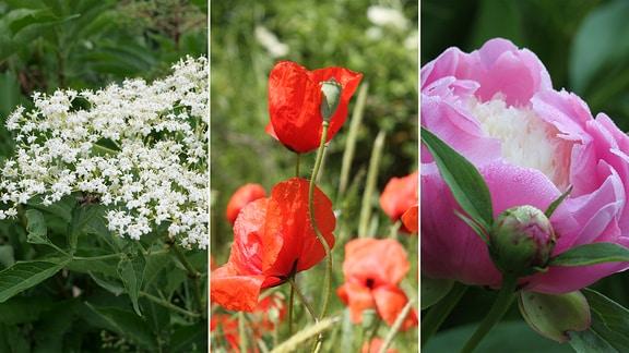 Blüten von Holunder, Mohn und Pfingstrose