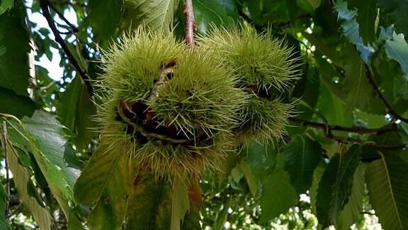 An einem Baum hängende, leicht geöffnete Esskastanienhülle.