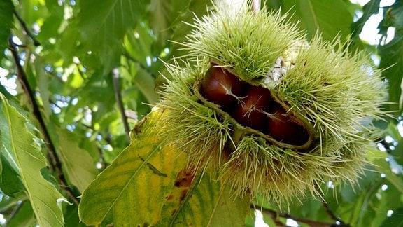 Aus der geöffneten Fruchthülle blitzen Esskastanien hervor.