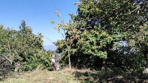 Mit einem langen Stock schlägt ein Mann Esskastanien von einem Baum.