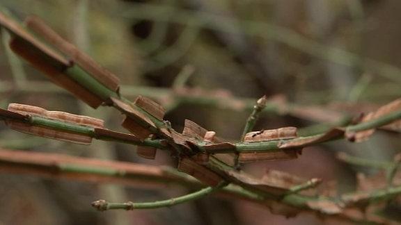 Mit Korkleisten besetzte, grüne Zweige von einem Korkflügelstrauch im Egapark in Erfurt