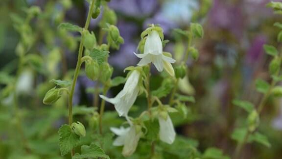 Weiße Blüten einer Glockenblume