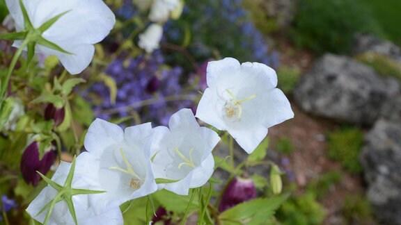 Niedrige Glockenblume Blaue Clips Campanula zahlreiche Blüten im Topf