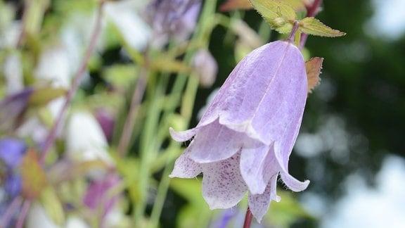 Zart lila Blüte einer Glockenblume