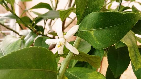 Weiße Zitronenblüte an einem Bäumchen.