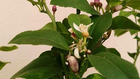Blüten und unreife Zitrone an einem Zitronenbaum