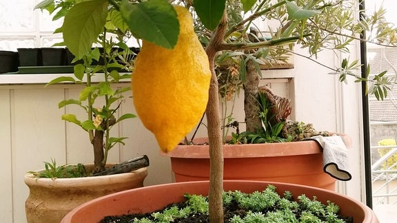 Zitronenbäumchen im Kübel.