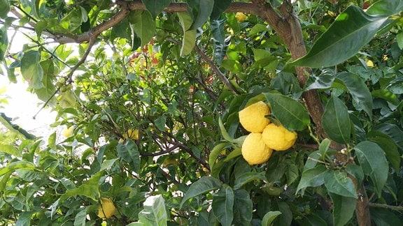 Drei Zitronen hängen an einem Baum.