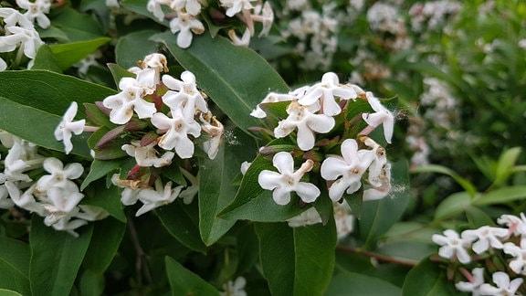 Abelia monsanensis koreanische Abelie