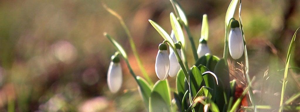 Lieblings Schneeglöckchen: pflanzen, pflegen, vermehren | MDR.DE @EB_35