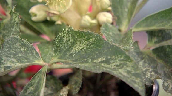 Grüne, weiß gefleckte Blätter einer Topfpflanze