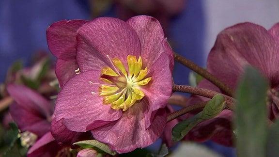 Rötliche Blüte an einer Topfpflanze