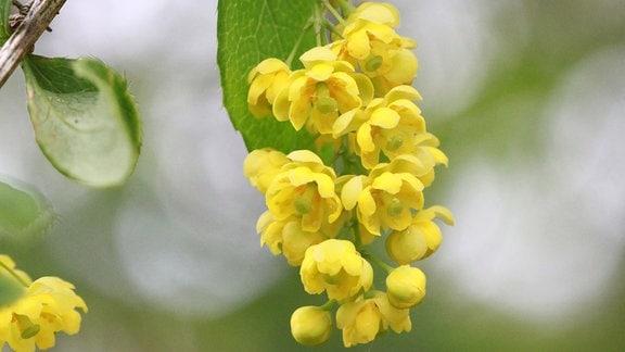 Gelbe Blüten einer Berberitze.