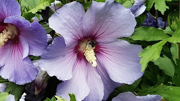 Blaue Blüten des Strauchhibiskus. .