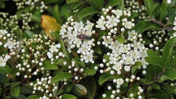 Weise Blüten des Cotoneaster-Strauchs.