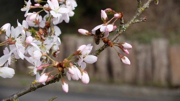 Weiße Blüten der Zierkirsche.