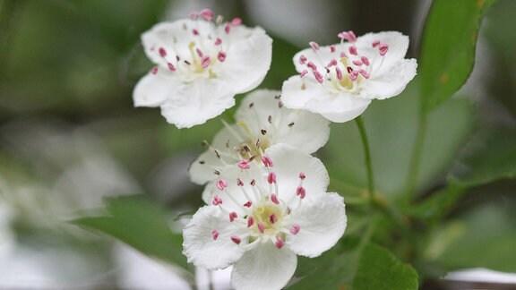 Weiße Blüten des Weißdorn-Strauchs.