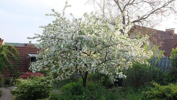 Zierapfelbaum in voller Blüte.