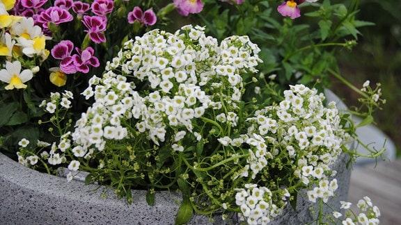 Weiß blühender Duftsteinrich in einem Blumentopf