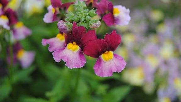Elfenspiegel Nemesia der Sorte 'Fairy Kisses Boysenberry'