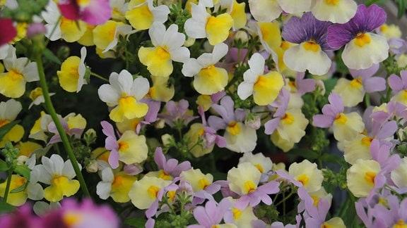 Gelb-weiße Blüten einer Elfenspiegel-Blume