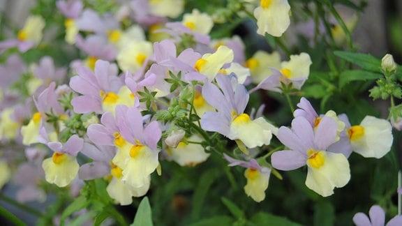Lila-gelbe Blüten einer Elfenspiegel-Blume