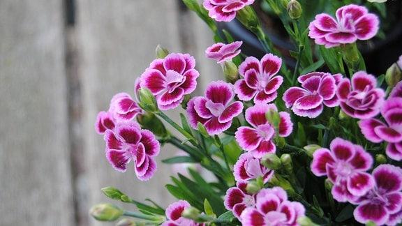 Rosa und pink blühende Nelke im Topf