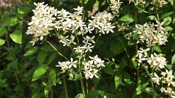 Clematispflanze mit vielen kleinen, weißen Sternchenblüten.