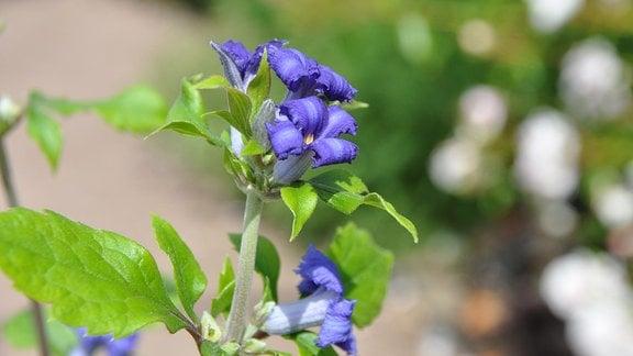 Clematispflanze mit kleinen, blauen, trichterförmigen Blüten.
