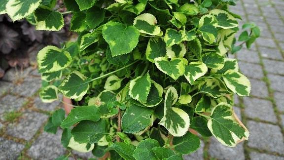 Kletterhortensie mit grün-weiß panaschierten, herzförmigen Blättern.