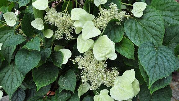 Eine Spalthortensie mit dunkelgrünen, kräftigen Blättern und weißen Blüten. Um die Blüter herum haben sich weiße Schmuckblätter gebildet.