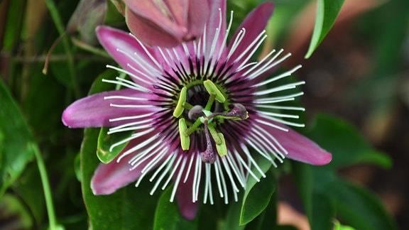 Wunderschöne lila Blüten der Passionsblume, der Strahlenkranz ist weiß.