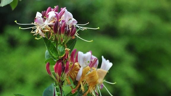 Rosa Blüten und rote Knospen eines Geißblattes.