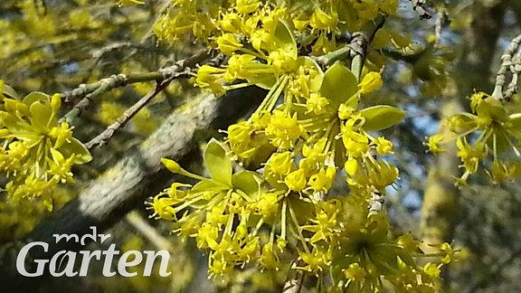 Gelbe Blüten der Kornellkirsche.