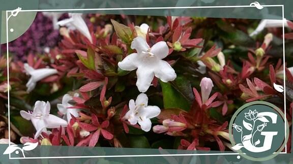 Abelia x grandiflora ´Pink Lady´