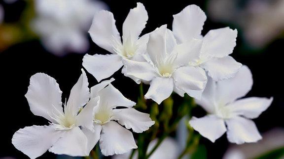 Oleanderblüte weiß