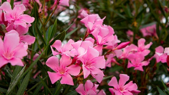 rosa blühender Oleander