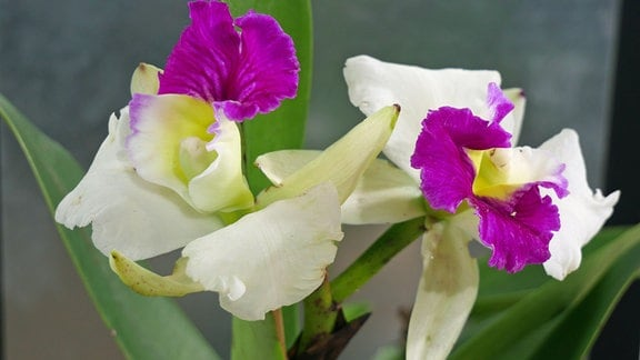 Orchidee Cattleya Hybride