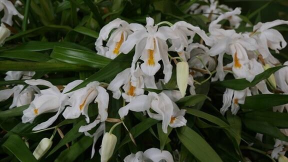 Orchidee Coelogyne cristata