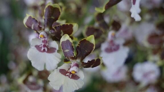 Orchidee Colmanara Tropic Jungle