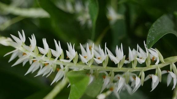 Orchidee Dendrochilum species