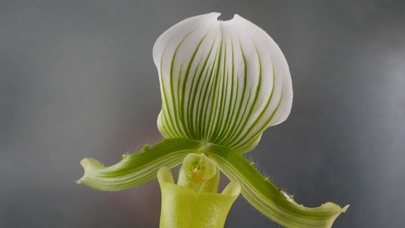 Orchidee Paphiopeidlum Maudiae