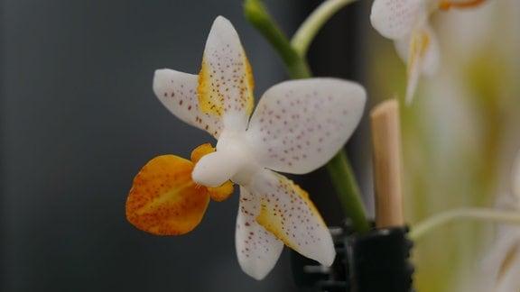 Orchidee Phalaenopsis Mini mark