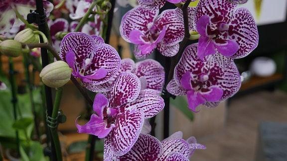 Orchidee Phalaenopsis Big Lip