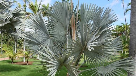 Palme im Palmetum auf Teneriffa
