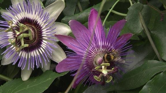 Blüten der Passionsblume mit Hummel