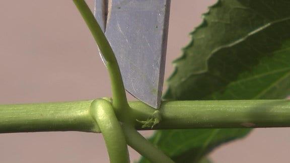 Messerspitze deutet auf Knospe am Trieb einer Passionsblume