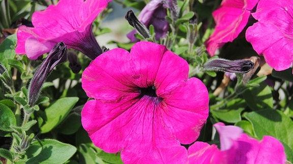 Eine in kräftigem Pink blühende Petunie der Sorte Alpetunia Dark Purple mit großen, trichterförmigen Blüten.